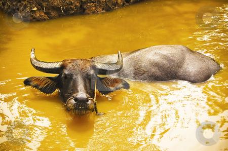Buffalo tied at the riverbank stock photo, Black buffalo tied at the bank of Mekong river. by Pavel Filippov