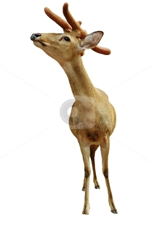 Young deer isolated on white stock photo, Christmas talisman.  Yung deer isolated on white. by Oleg Blazhyievskyi