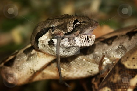 Snake - boa constrictor, lunch with mice. stock photo, Snake - boa constrictor, lunch with mice. Feeding pets cant be terrible. by Oleg Blazhyievskyi