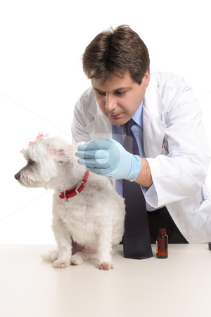 Vet puts eardrops into dogs ears stock photo, A male vet administering a dose of medicine drops into a dog's ears.  Focus to dog. by Leah-Anne Thompson