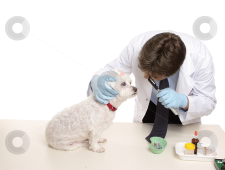 Veterinary checkup stock photo, A maltese terrier receives a checkup at a veterinary clinic. by Leah-Anne Thompson