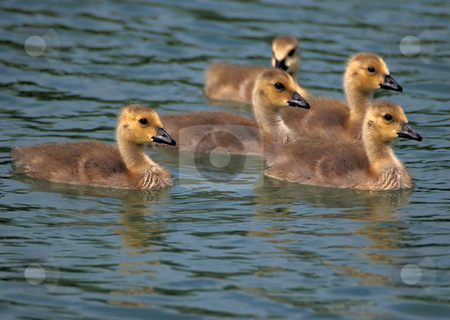 Baby Geese stock photo, Canada goose goslings by Tim Elliott