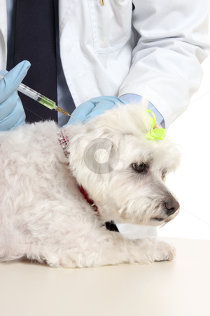Vet giving dog needle injection stock photo, Veterinarian giving a maltese terrier a needle injection.  Focus to syringe. by Leah-Anne Thompson