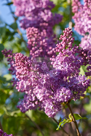 Lilac stock photo, Nature series: lilac bloom in spring season by Gennady Kravetsky