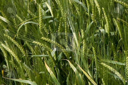 Cereals stock photo, Nature series: field of green wheat, macro picture by Gennady Kravetsky