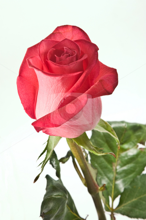 Roses for love stock photo, Flower series: red rose with leaves over white by Gennady Kravetsky