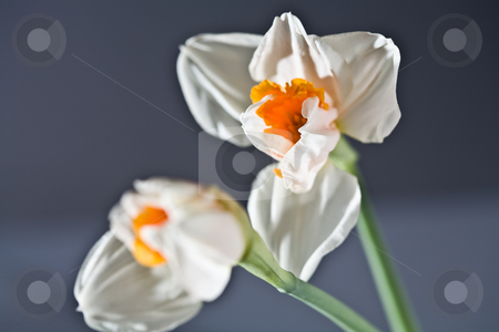 Narcissus stock photo, Flower series: macro picture of white narcissus by Gennady Kravetsky