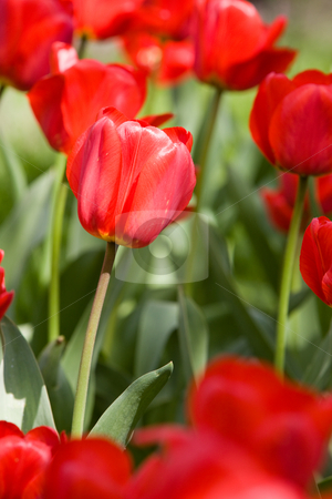 Tulip stock photo, Nature series: macro of red tulips in spring by Gennady Kravetsky