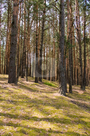 Forest stock photo, Nature series: pine forest in the spring by Gennady Kravetsky