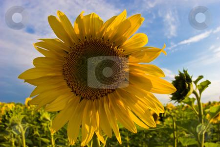 Yellow sunflower stock photo, Nature series: yellow sunflower close up view by Gennady Kravetsky