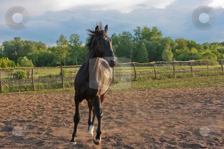 Horse stock photo, Animal series: black horse run on the farm by Gennady Kravetsky