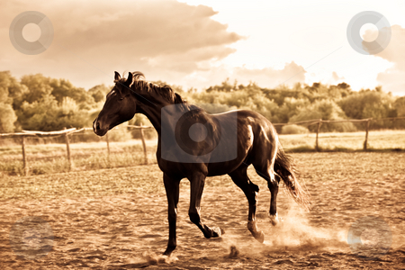Horse stock photo, Animal series: black horse run on the farm by Gennady Kravetsky