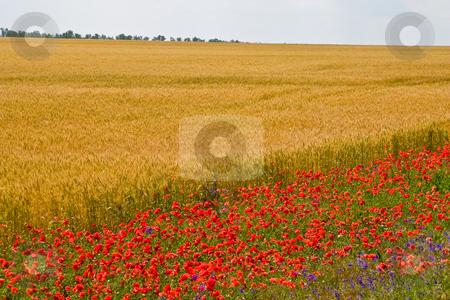 Poppy field stock photo, View series: poppy on the wheat field in summer by Gennady Kravetsky
