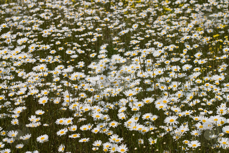 Daisy meadow stock photo, Flower series: camomile meadow in the spring by Gennady Kravetsky