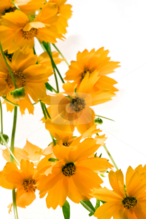 Yellow flowers stock photo, Nature series: bunch of yellow flowers over white background by Gennady Kravetsky