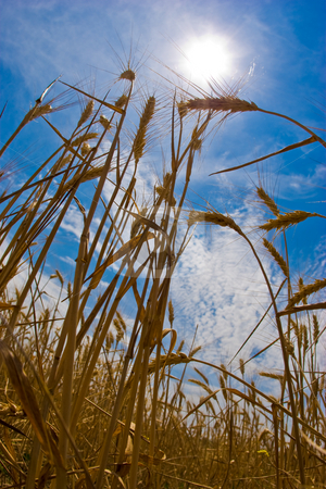 Wheat stock photo, Agriculture series:  close up of wheat golden grain by Gennady Kravetsky