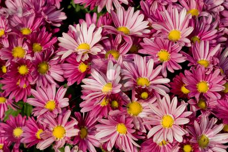 Chrysanthemum texture stock photo, Nature series: macro picture of rose chrysanthemum by Gennady Kravetsky