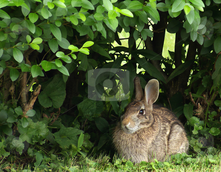 Eastern Cottontail Rabbit stock photo, An Eastern cottontail rabbit (Sylvilagus floridus) sitting under a privet hedge. by Kathy Piper