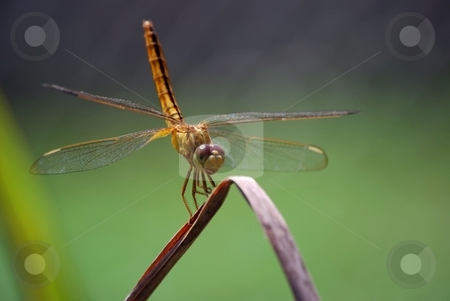Dragon fly stock photo, Dragon fly smiles for the camera by Charles Bacon jr