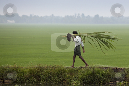 Man carrying sugar cane stock photo, A man carrying sugar cane along a bank by a rice paddy by Mike Smith