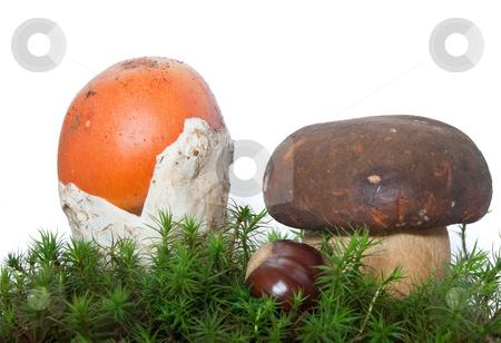 Amanita and Boletus mushrooms with chestnut stock photo, Two mushrooms, Amanita Caesarea and Boletus edulis with chestnut on musk isolated on white background by ANTONIO SCARPI