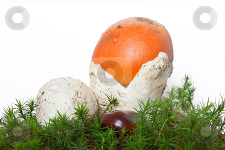Amanita Caesarea mushrooms stock photo, Two beautiful young Amanita Caesarea mushroom on musk isolated on white background by ANTONIO SCARPI