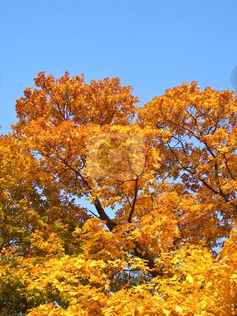 Maple in autumn stock photo, Sunny golden maple in autumn by Tatsiana Amelina