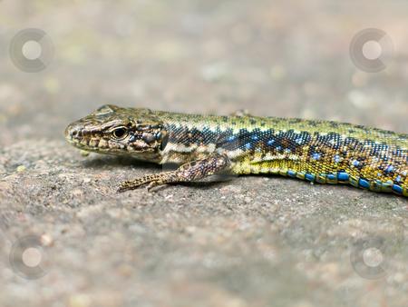 Lizard stock photo, Blue-green lizard creeping on the stone by Tatsiana Amelina