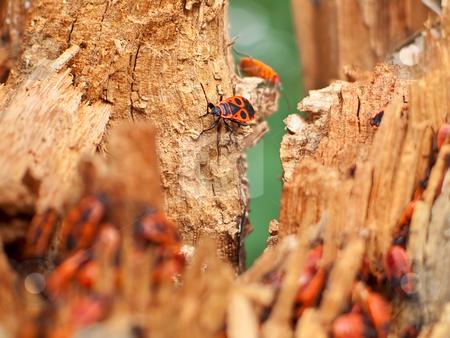 Firebugs stock photo, Firebugs (Pyrrhocoris apterus) on the stub by Tatsiana Amelina