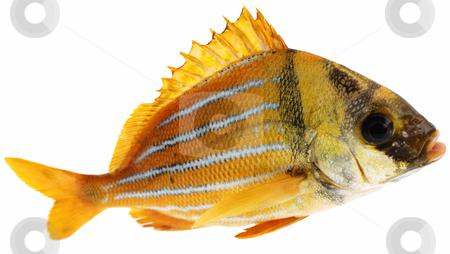 Gold fresh fish stock photo, Gold fresh fish on white background by Nataliya Taratunina