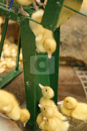 Slip n Slide stock photo, Baby ducks  having fun.  Focus on the middle duck at bottom of slide.  The duckling on the slide is in motion as another awaits his turn. by Leah-Anne Thompson