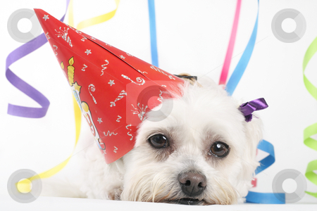 Party Pooch stock photo, Pooped by Leah-Anne Thompson