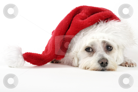 Christmas Pooch stock photo, Christmas pooch resting with a santa hat by Leah-Anne Thompson