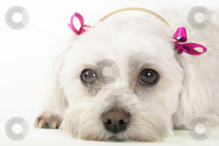 Maltese Dog stock photo, Maltese dog with pink ribbons by Leah-Anne Thompson