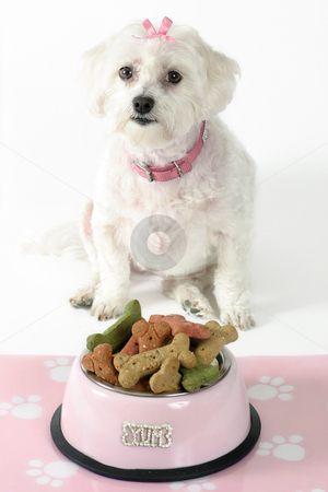 Pampered Pooch stock photo, White maltese terrier with pink collar and ribbon sits in front of a pink dog bowl filled with doggie bone-shaped biscuits by Leah-Anne Thompson