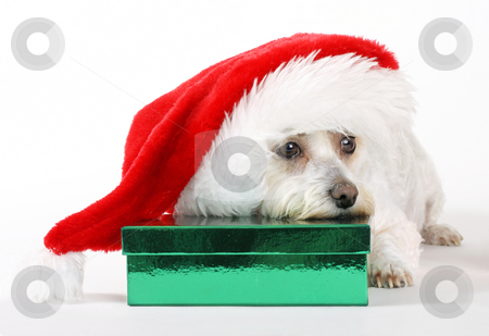 A Dog's Christmas stock photo, Dog with a Gift by Leah-Anne Thompson