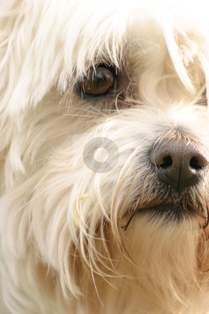 Maltese Terrier stock photo, A scruffy maltese terrier by Leah-Anne Thompson