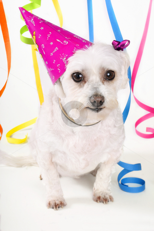Party Pooch stock photo, White dog, party hat and streamers by Leah-Anne Thompson