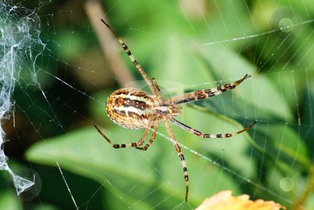 Spider stock photo, Big  frightening spider on cobweb in forest by Jolanta Dabrowska