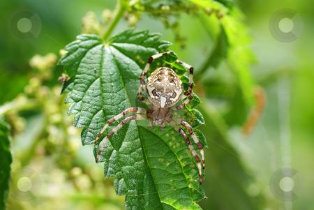 Spider stock photo, Big  frightening spider on the green leaf by Jolanta Dabrowska