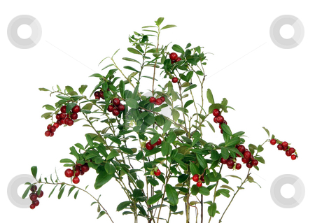 Cowberry stock photo, Big bush red cowberry on white background by Jolanta Dabrowska