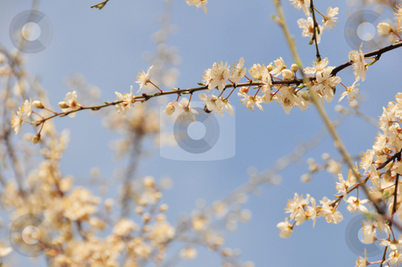 Spring blossom  stock photo, Spring blossom by Zheko Zhekov