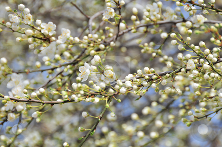Spring blossom  stock photo, Spring blossom by Zheko Zhekov