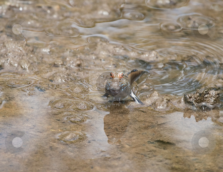 Mudskipper stock photo, Mudskipper on mud bank of River Gambia by Susan Robinson