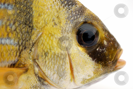 Gold fish stock photo, Head of fresh gold fish on white background by Nataliya Taratunina