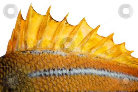The top fin of a fish stock photo, The top fin of a goldfish by Nataliya Taratunina