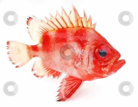 Red fish stock photo, Red fish on white background by Nataliya Taratunina