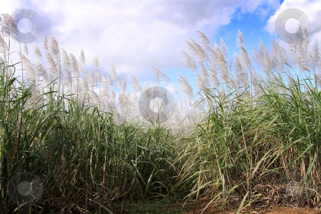 Sugarcane field stock photo, Sugarcane plants in full bloon ready for harvest. Sugarcane, or sugar cane, is any of six to thirty-seven species (depending on taxonomic system) of tall perennial grasses of the genus Saccharum (family Poaceae, tribe Andropogoneae). Native to warm temperate to tropical regions of India and Asia, they have stout, jointed, fibrous stalks that are rich in sugar, and measure two to six meters (six to nineteen feet) tall. All sugar cane species interbreed, and the major commercial cultivars are complex hybrids. by Gowtum Bachoo