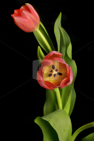 Tandem Beauty stock photo, Two beautiful tulips entwined by Leah-Anne Thompson