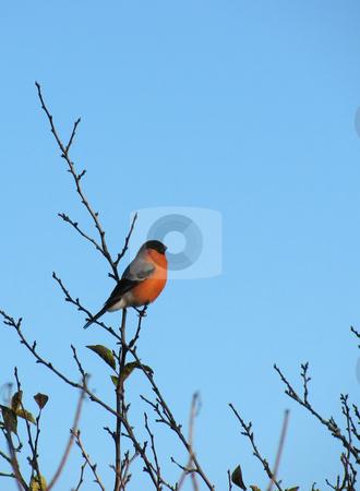 Bullfinch stock photo, Bullfinch on a tree on the background of blue sky by Olga Lipatova